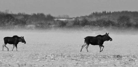 Reindeers in the snow, black and white image