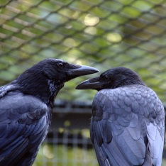 Carrion crows - photograph by Dr Claudia Wascher, Anglia Ruskin University