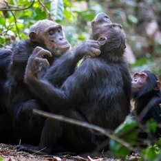 Chimpanzees playing in a woody area.
