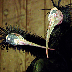 Pair of Northern Bald Ibises