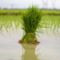 Rice growing