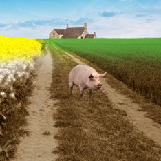 a pig is walking down a mud path, a farm house can be seen in the distance behind it.