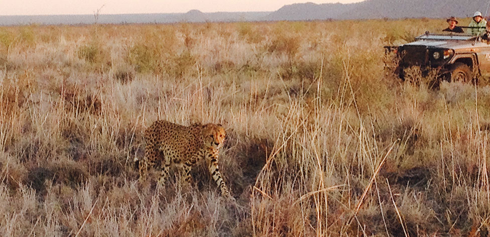 A leopard walking nearby