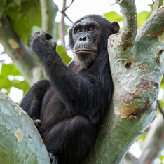 A chimpanzee sat in a tree