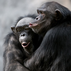 Two chimpanzees with their arms around each other.