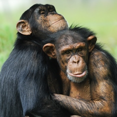 Two chimpanzees